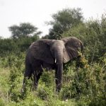 African Elephant Poaching