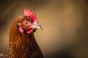 chicken lenses